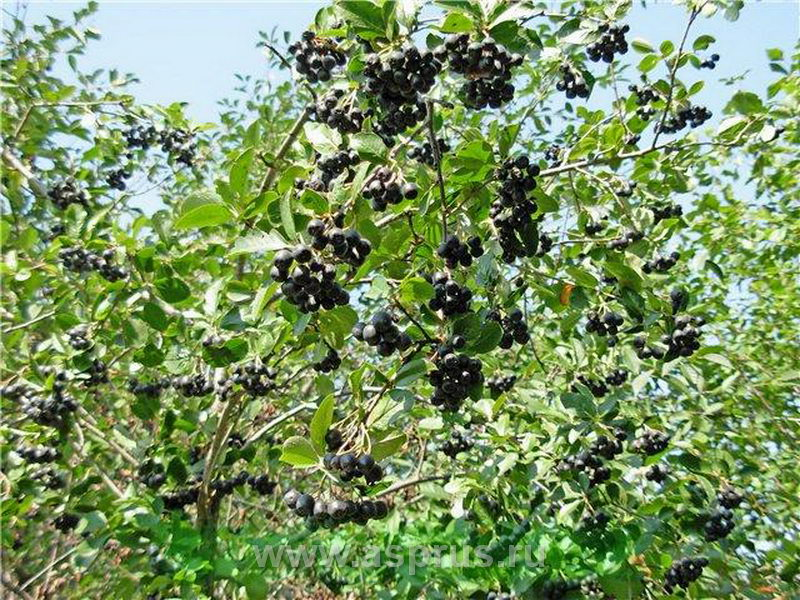 Черноплодная рябина: описание и фото